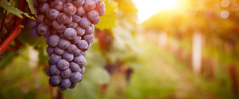 produzione e commercializzazione vini pregiati salento
