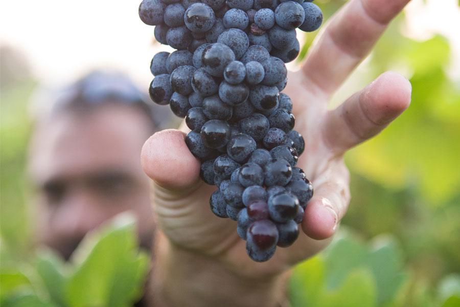 uve selezionate per vini pregiati salento