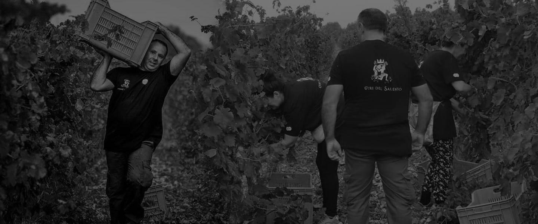 vendemmia uva vini pregiati salento